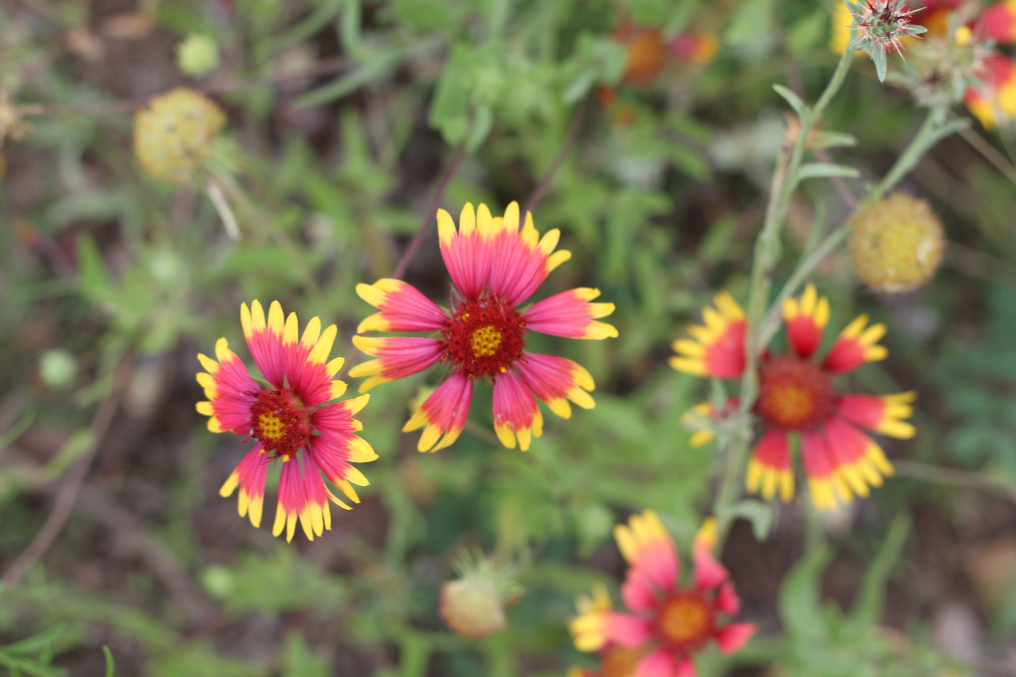 Mexican Blanket Flowers