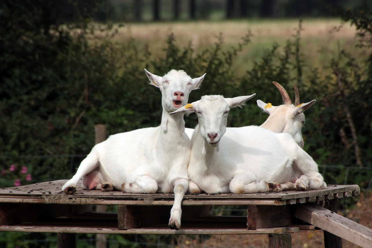 Goats Milk Soap What is the big deal Blanco, Texas