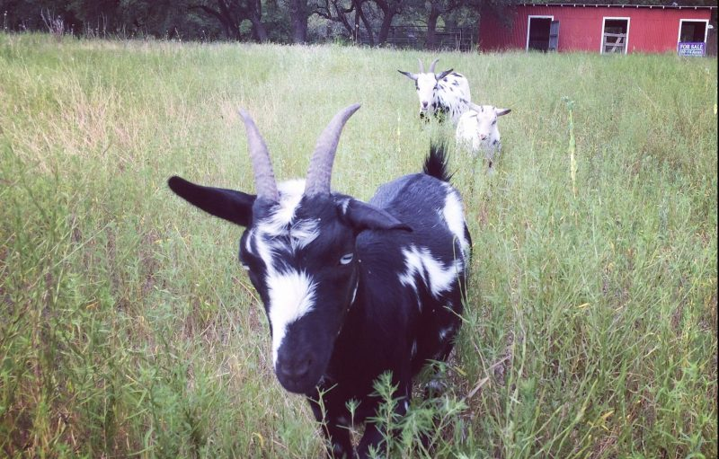 Nigerian Dwarf Goats in Blanco Texas Goats Milk Soap